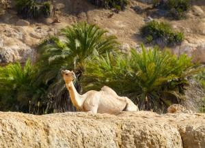 Gratuitous camel-palm photo
