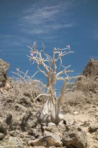 Flowering arabicus arabicum