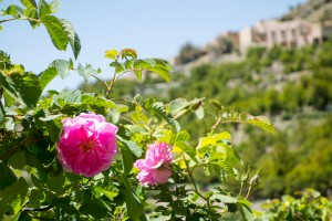 The famous roses of Jebel Akhdar