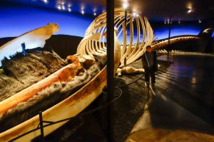 The blue whale skeleton in the Husavik whale museum