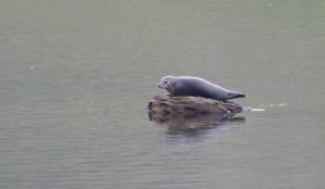 A live seal, basking in the mist!